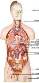 lichaam organen