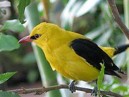 Wielewaal zangvogel 266px-Oriole_2